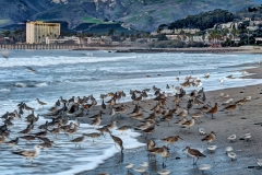 Shore Birds Feeding Frenzy, Ventura, Ca.